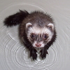 Splashy ferret