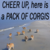 Pack of corgis