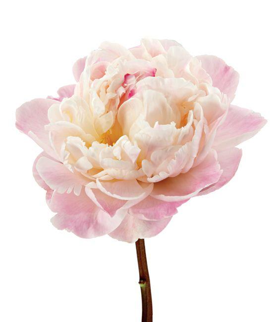 Kinds Of Wedding Flowers: Peony