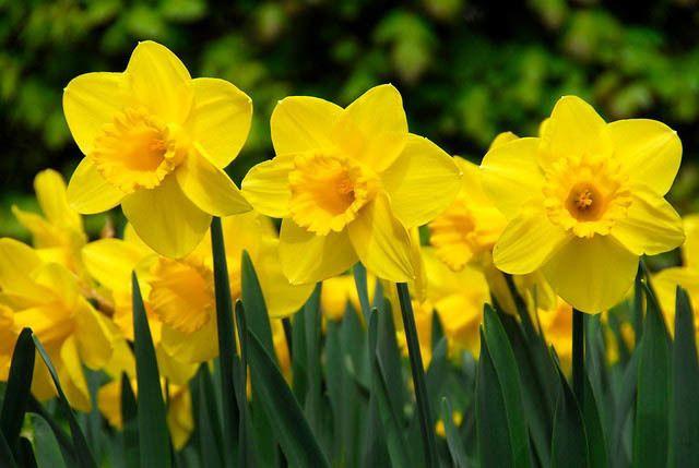 Daffodils via Gardenia