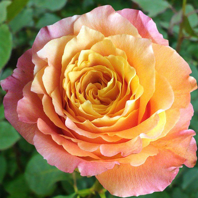 Free Spirit Rose via Virgin Farms