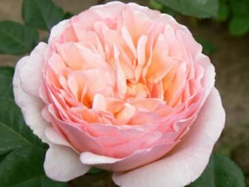 Garden Rose via Alexandra Farms