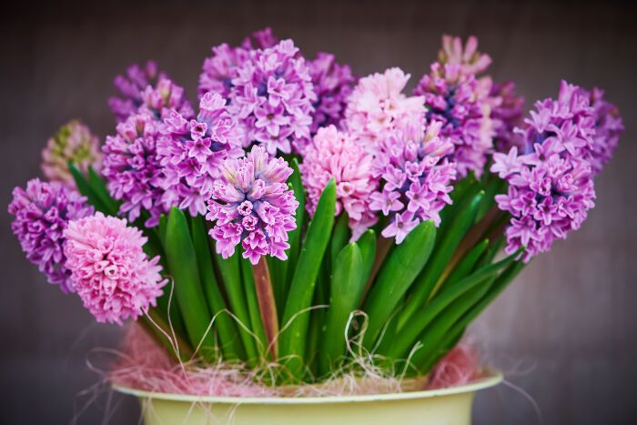Hyacinth via Flower Meaning