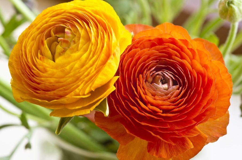 Ranunculus via Sakita Flowers