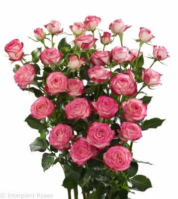 Spray Roses via Interplant Roses