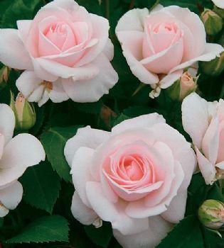 Standard Roses via Dewilde