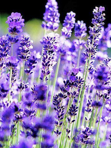 Lavender Flowers via Better Home & Garden