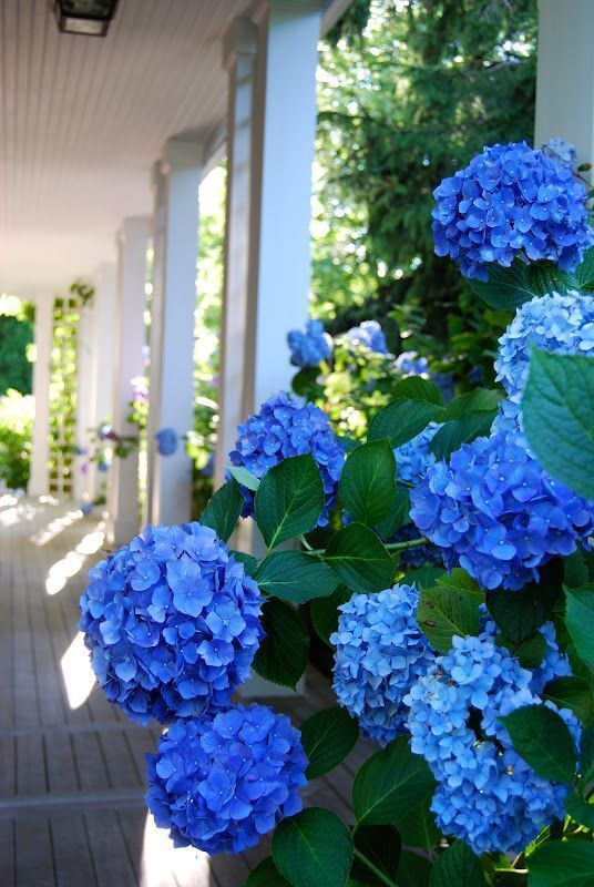Blue Hydrangea - Haute Hydrangea - photo by Hamptons Hostess
