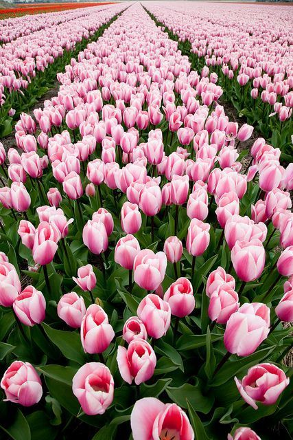 Tulips via Flickr