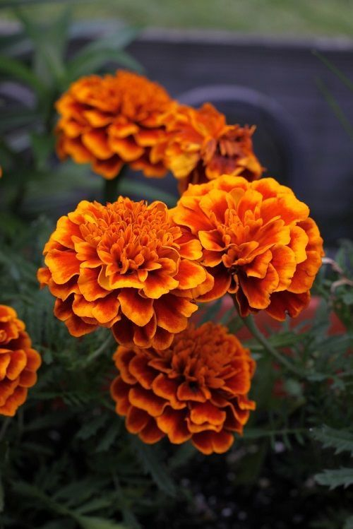 Dark Orange Marigold - Marigold Flower - via Pinterest.com