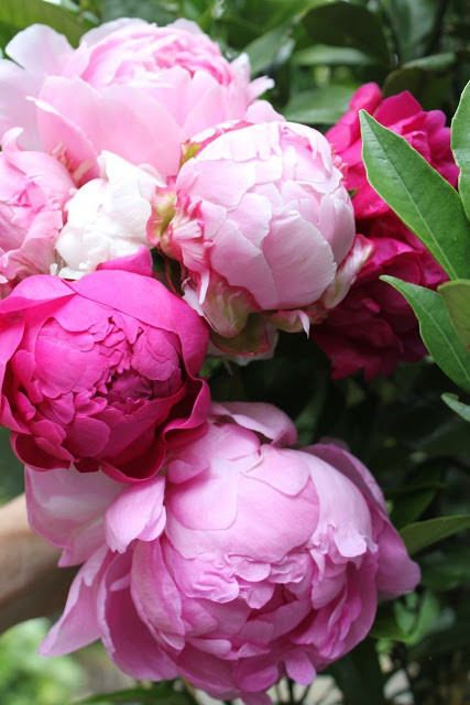 Bursting Pink Peony - Perfect Peonies - by Kathy Woodard - via The Garden Glove.com