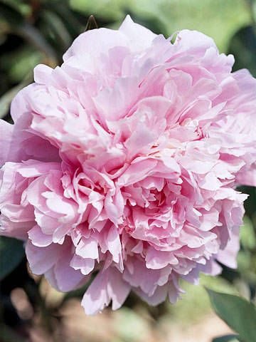 Fully Opened Pink Peony - Perfect Peonies - by Kathy Woodard - via The Garden Glove.com