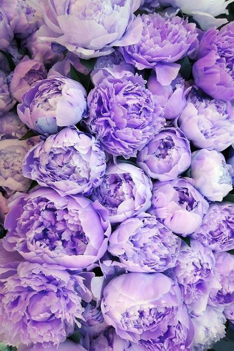 Purple Peonies - via Pinterest.com