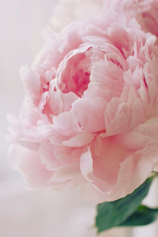 Single Pink Peony - Perfect Peonies - by Kathy Woodard - via The Garden Glove.com