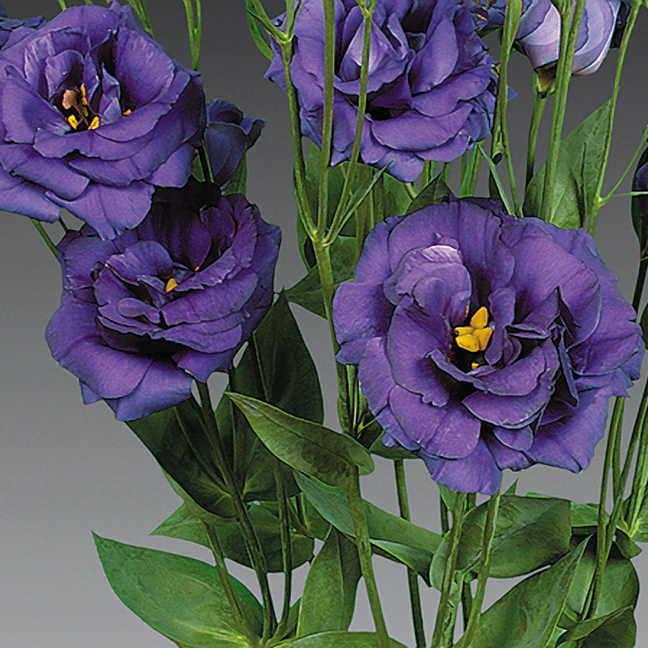 lisianthus flower - via parkseed.com