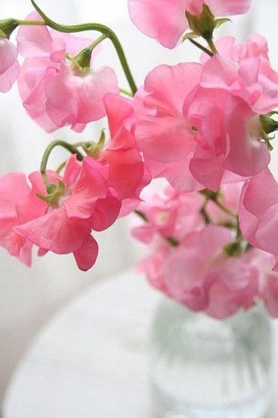 Pink Sweet Peas - via thegardenlove.com
