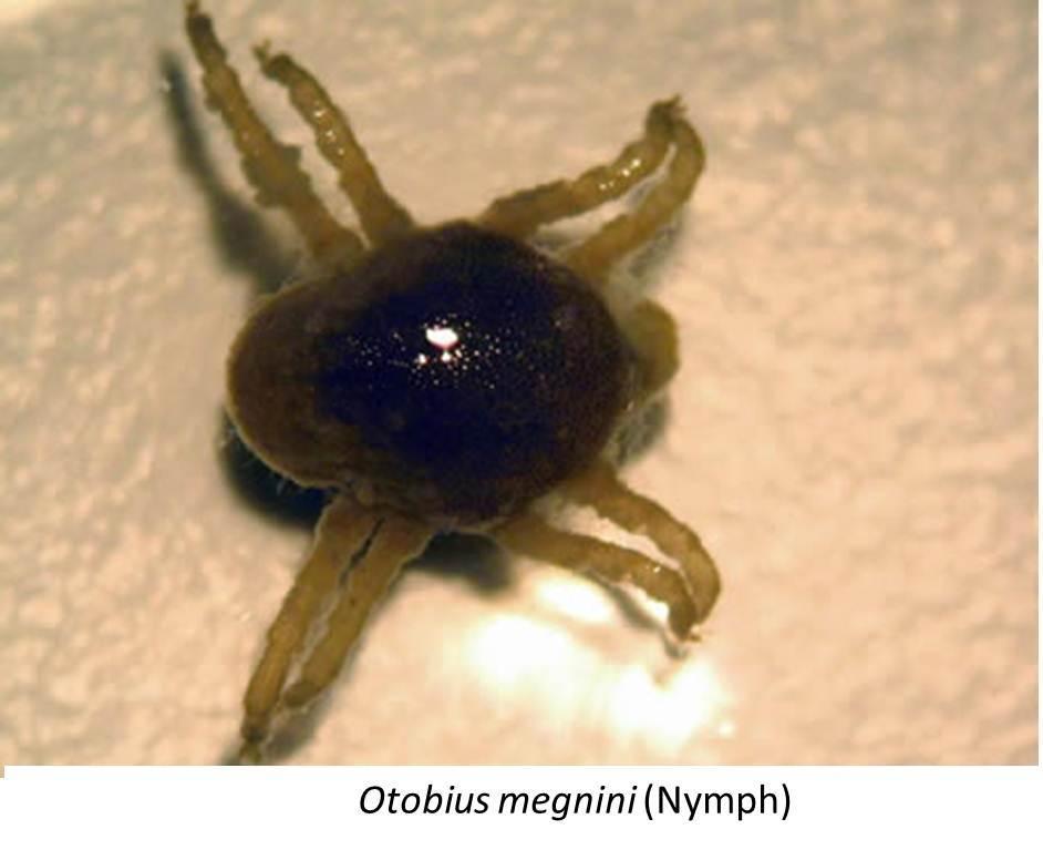 Otobius Megnini A