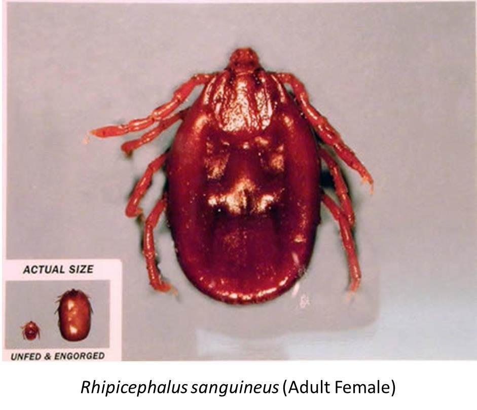 Rhipicephalus Sanguineus 2A