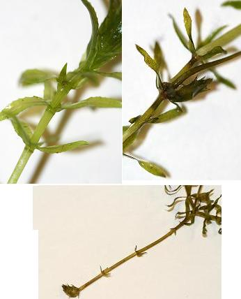 Three sample photos of hydrilla suspects