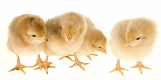 group of baby chicks