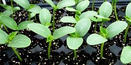 seedlings in a flat