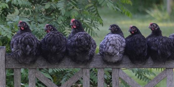 Chicken 2742352 1920