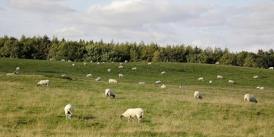 Sheep 1416843 960 720
