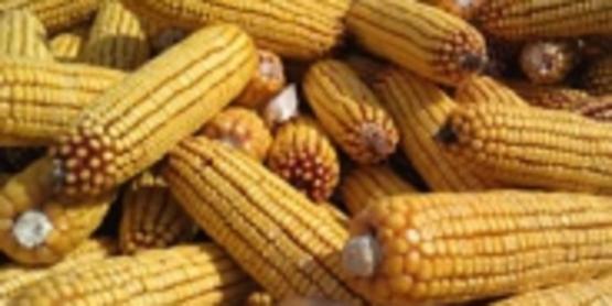 Cny corn