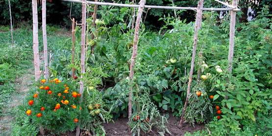 Kitchen garden in Gers, France with marigolds, tomatoes and trellises
