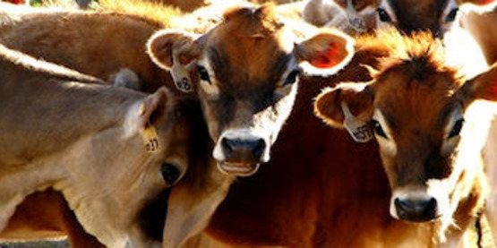 Ready dairy producer margin protection program 1 635325586519292000