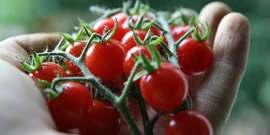 Tomatoes6 15