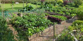 Thriving crops in raised beds. Vegetable garden, Malleny - near to Balerno, Edinburgh, Great Britain