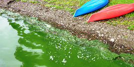 Harmful algal blooms, HABs, may make the water look bright green or like pea soup. From NYS DEC Harmful Algal Blooms (HABs) Photo Gallery