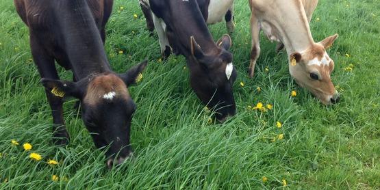 Dairy cows graze on a fresh paddock at Murphy's Grass Farm.