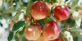 Learn how to grow delicious apples in your garden.