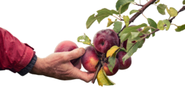 hand and apples