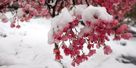 Snow covers blossoming trees in spring on the Engineering Quad (Cornell University Photography)