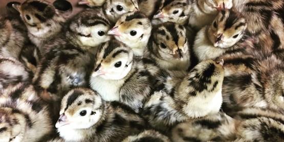 Pheasants 3