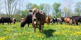 Engelbert dairy cows