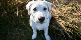 Labrador puppy; dog