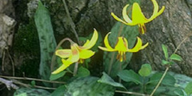 Trout lily adder tongue