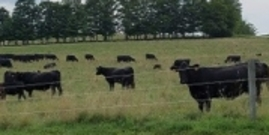 Livestock CNY