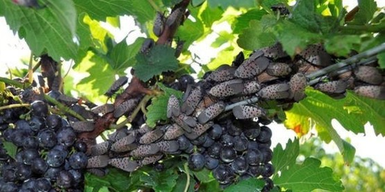 Spotted Lanternfly adult on grapes