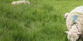 Lambs & Sheep