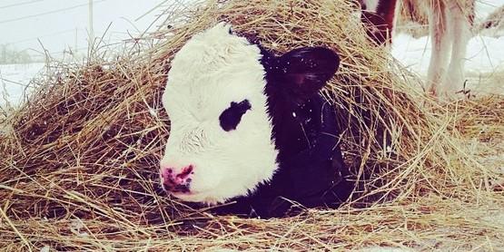 calf in winter