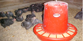 Kosher King Meat birds