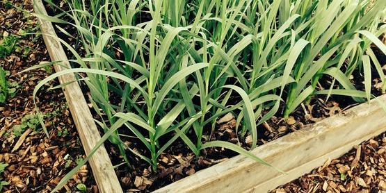 Planting and Growing Garlic