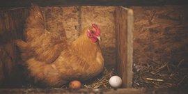Beginner Backyard Chickens