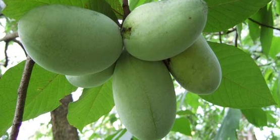 Paw paw fruits