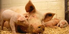 Pigs 520896